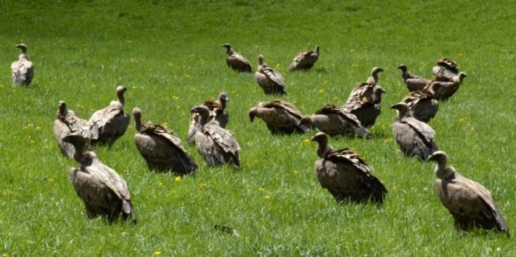 Voltors comuns en un prat del Pallars Sobirà.